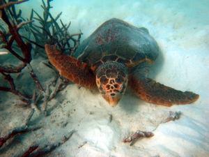Caretta Schildkröte