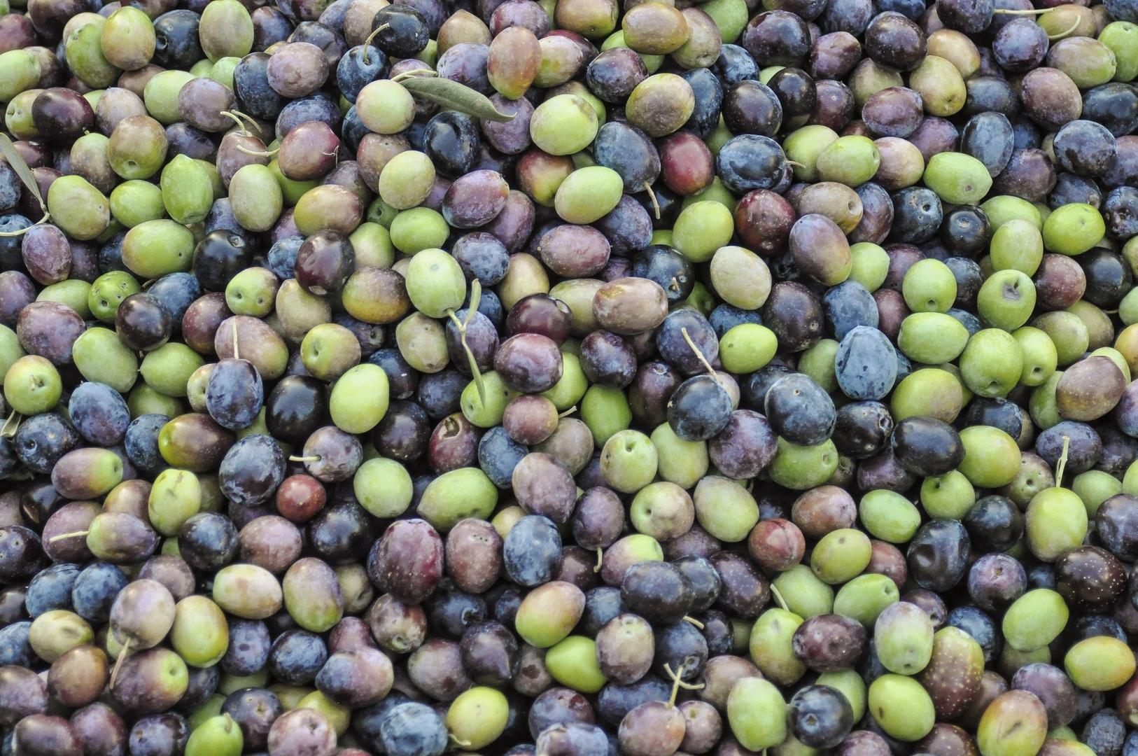 Oliven Pflücken